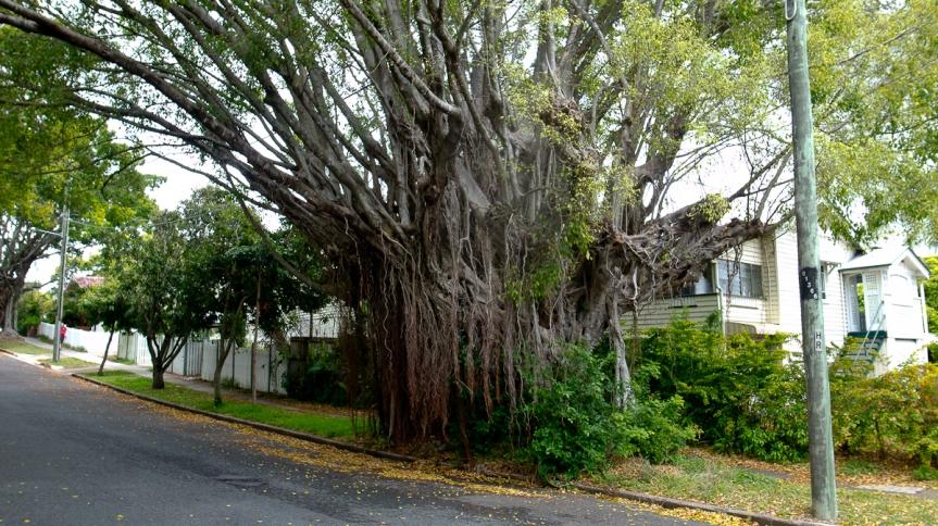 brisbane tree